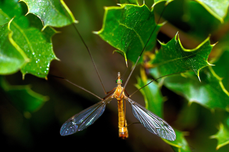 Un moustique-garou
