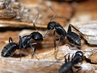 Projet de recherche sur les fourmis en Crau
