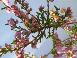 Calluna vulgaris (sortie Ocres)