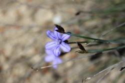 Aphyllante de Montpellier