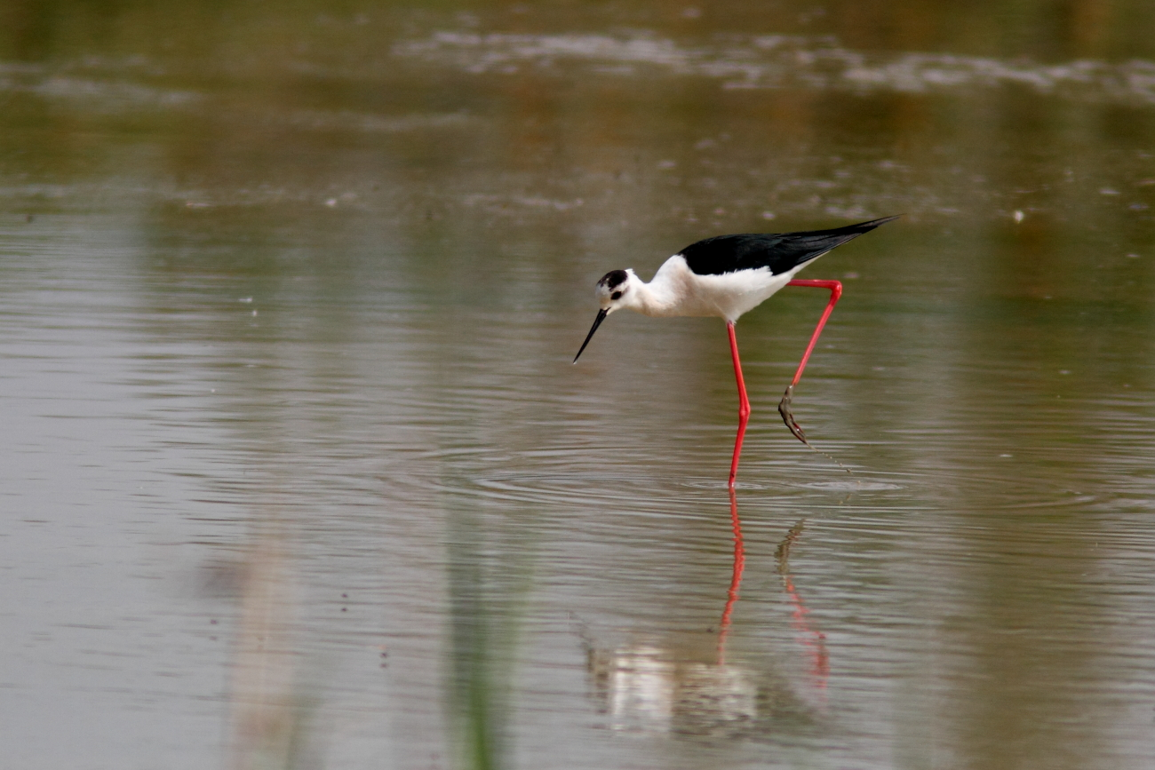 Sortie naturaliste en Camargue 2014
