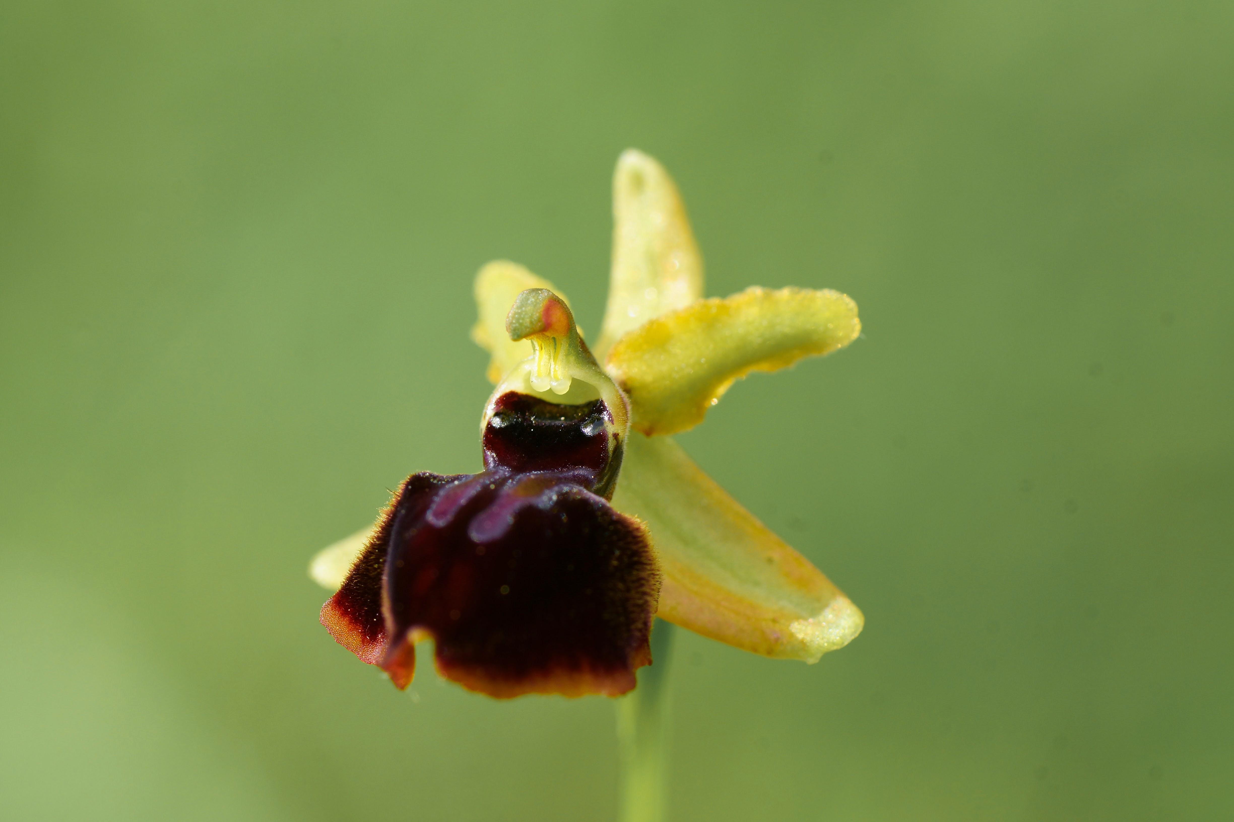 Ophrys de la passion