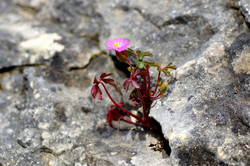 Geranium herbe à Robert