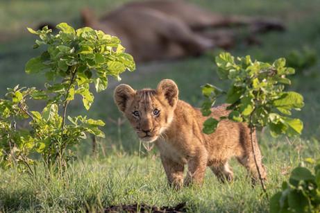 Playful Lion Cub