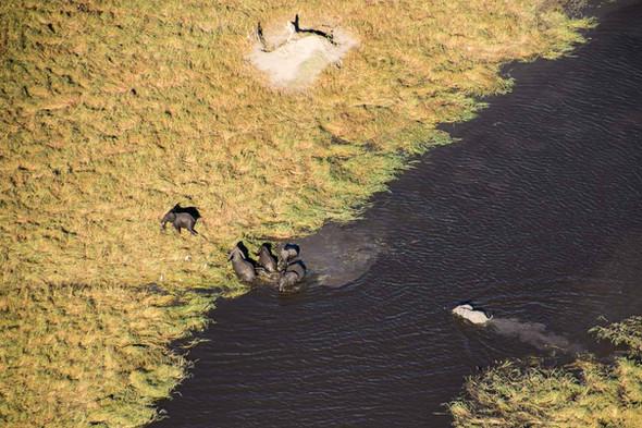 Elephant herd crosses the Gomoti