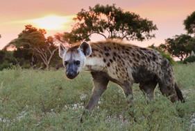 Inquisitive Hyena