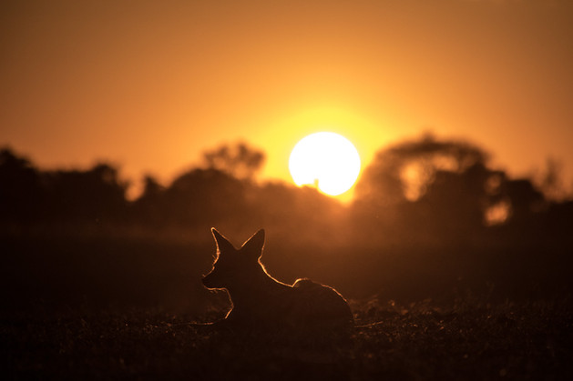 Black Backed Jackal - Dusk