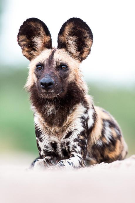African Wild Dog Portrait