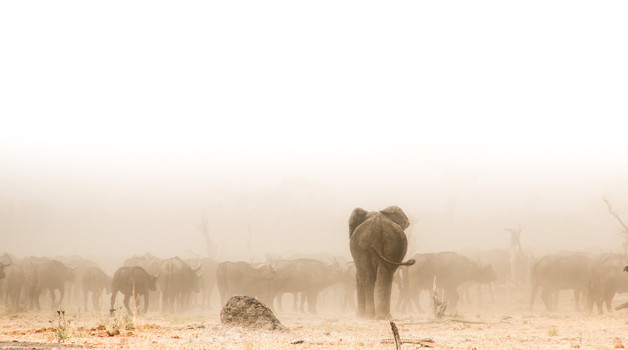Elephant in the Mababe Depression