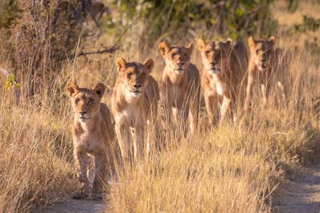 Lionup