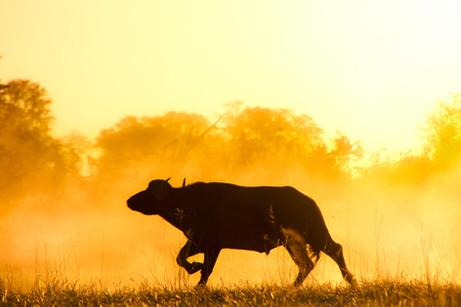 Cape Buffalo in the dust