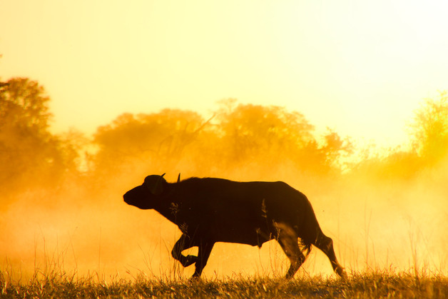 Cape Buffalo in the dust