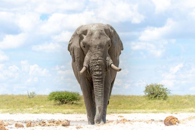 Elephant Bull - Nxai Pan