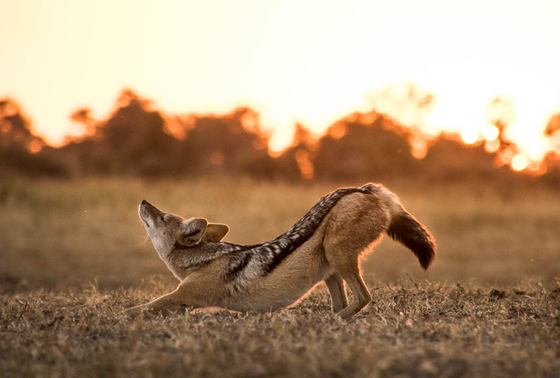Black Backed Jackal Stretch