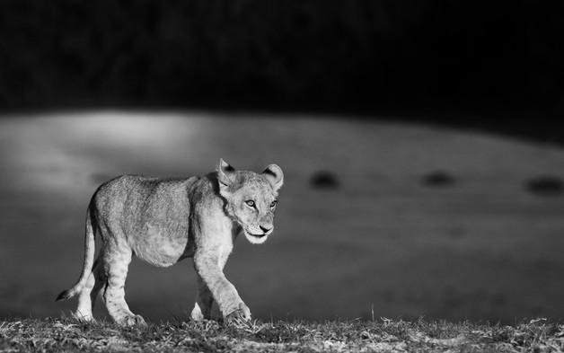 Lion Cub Stroll