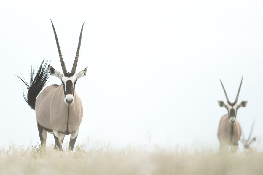 Oryx - Oil Paintings of the Kalahari