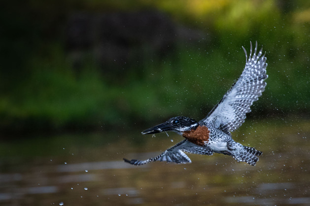 Rise & Drops - Giant Kingfisher