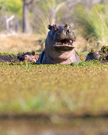 Hefty Hippo