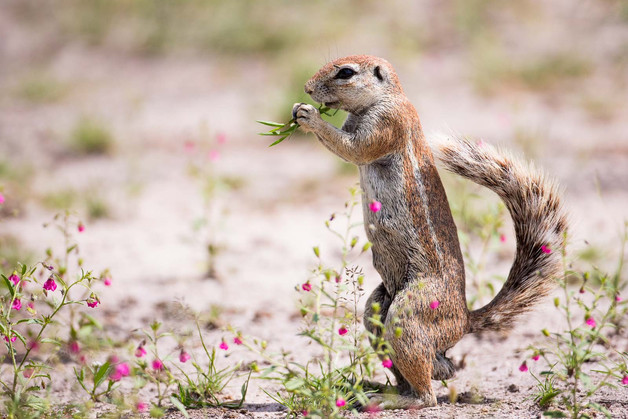 Ground Squirrel in Flowers