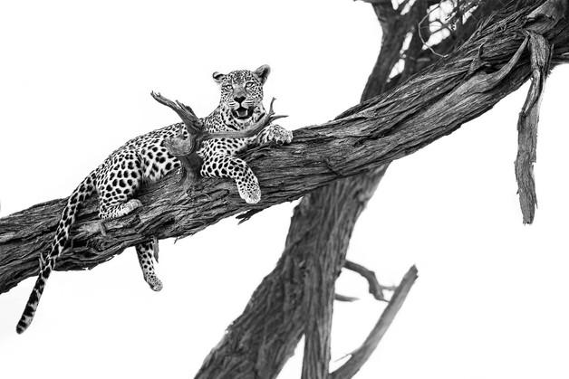 Leopard Perch