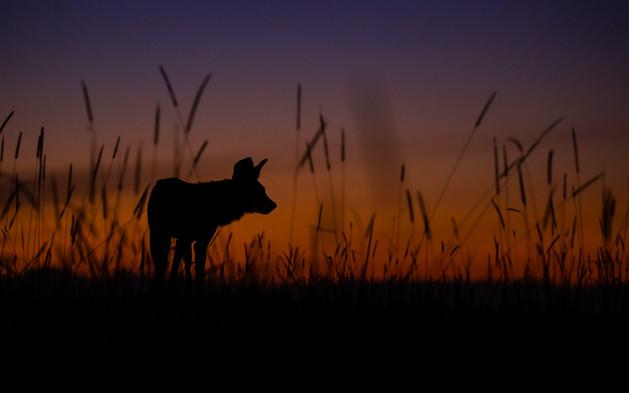 Wild Dog Silhouette