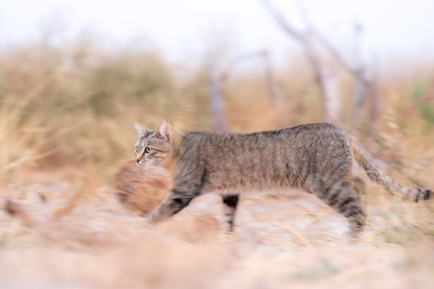 African Wildcat - Stealth Mode
