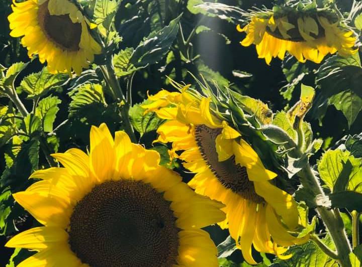Fish Sunflowers