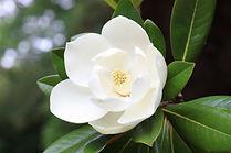 Blown beautiful magnolia flower on a tre