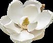 Southern%2520magnolia%2520(Magnolia%2520