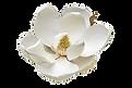 Southern%20magnolia%20(Magnolia%20grandi