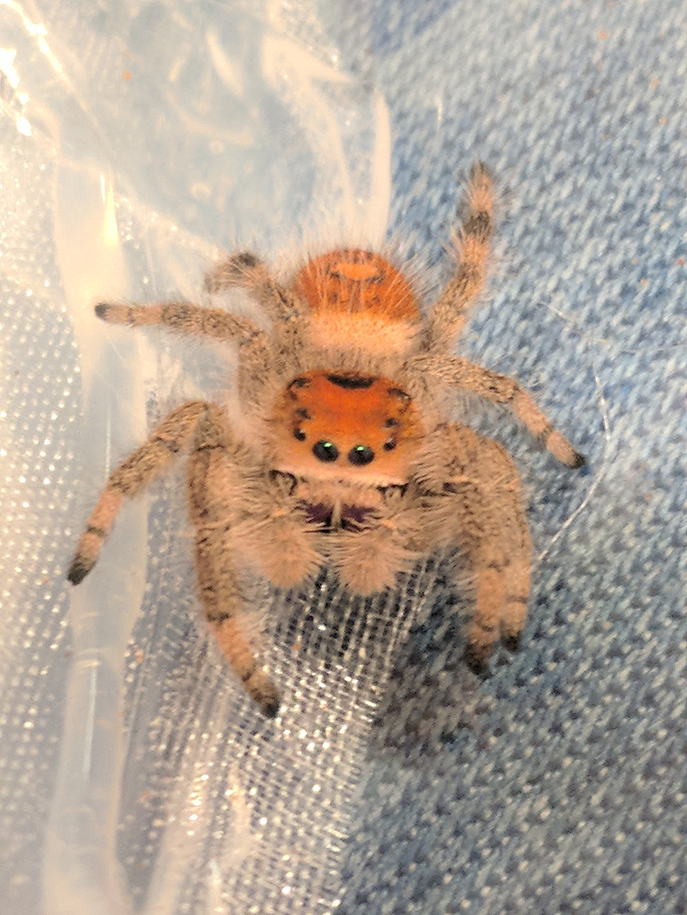 light orange female Phidippus regius