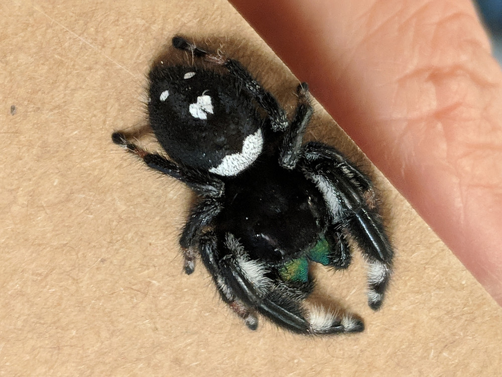 chevron/irregular shaped abdominal band male Phidippus regius