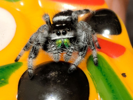 How to tell jumping spider sex and if a male or female jumping spider is mature