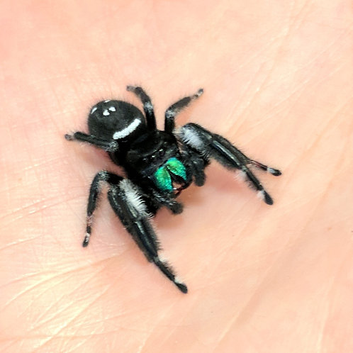 Phidippus regius male Regal Jumping Spider boy