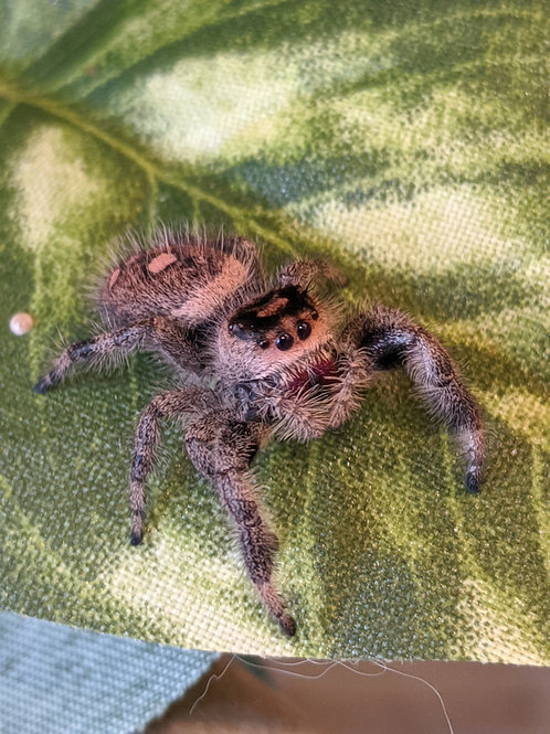 Phidippus regius female Regal Jumping Spider girl