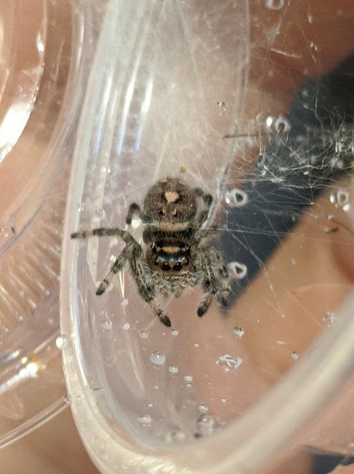 Phidippus regius-otiosus hybrid juvenile girl