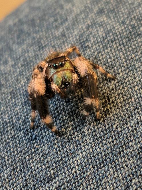 Phidippus otiosus male Canopy Jumping Spider