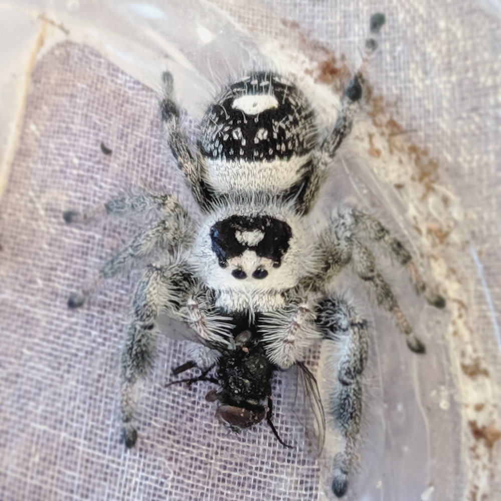 black and white/grey female Phidippus regius
