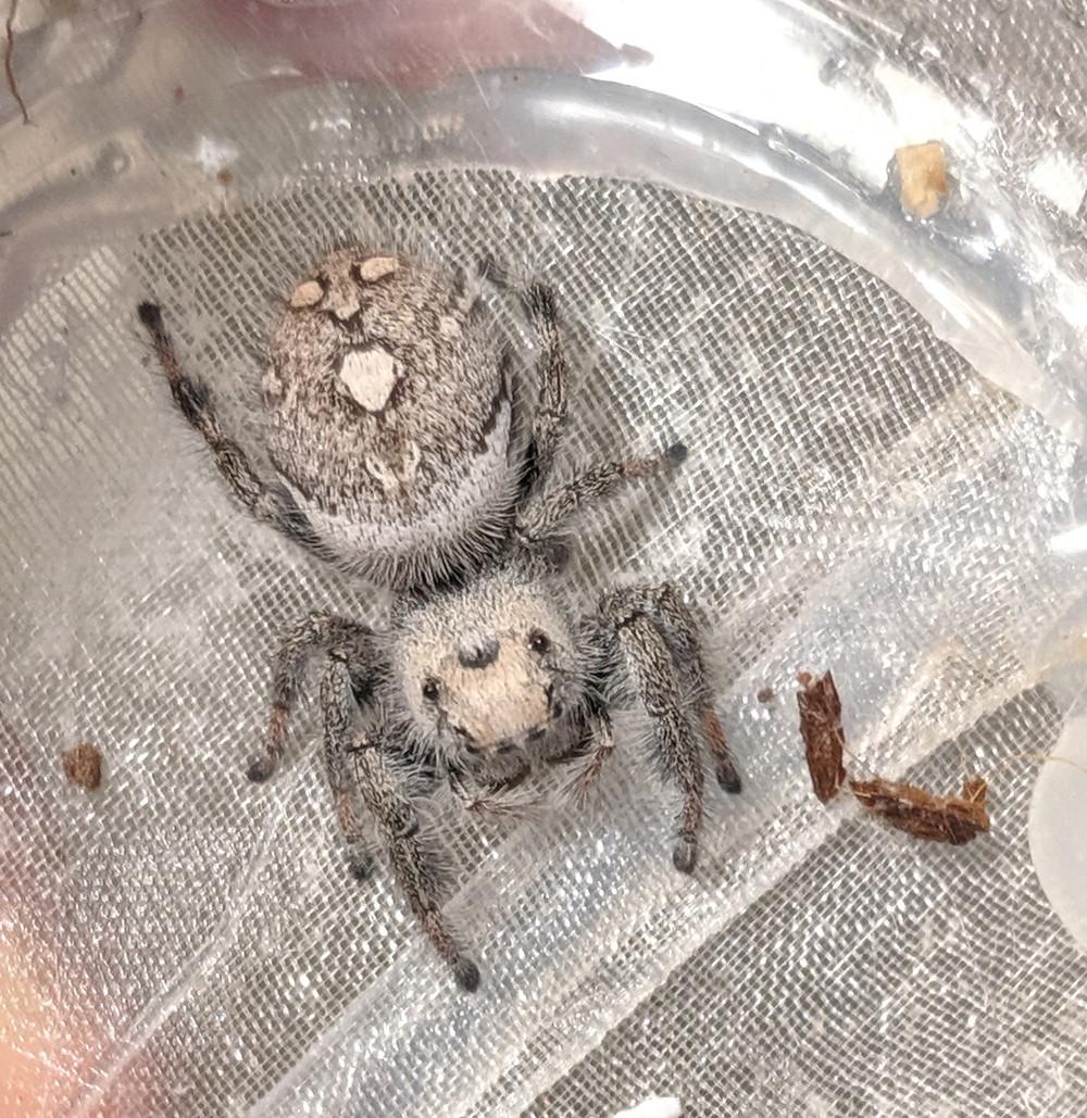 light cream/grey female Phidippus regius