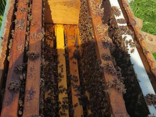 Bob's beekeeping adventures #3