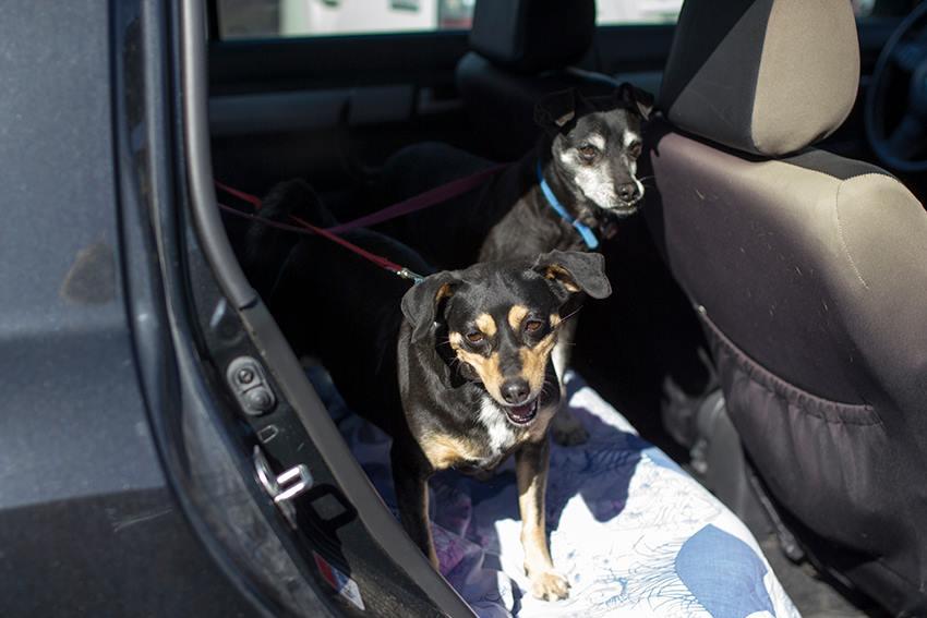 מעמיסים כלבים על רכבים