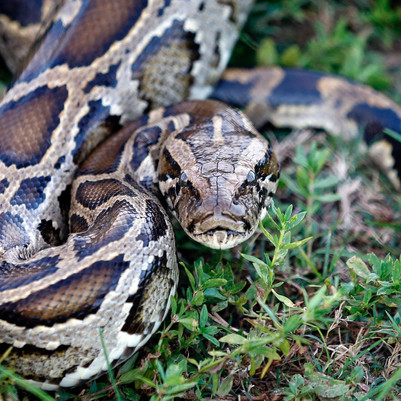 Florida Officials Want Residents To Eat Pythons
