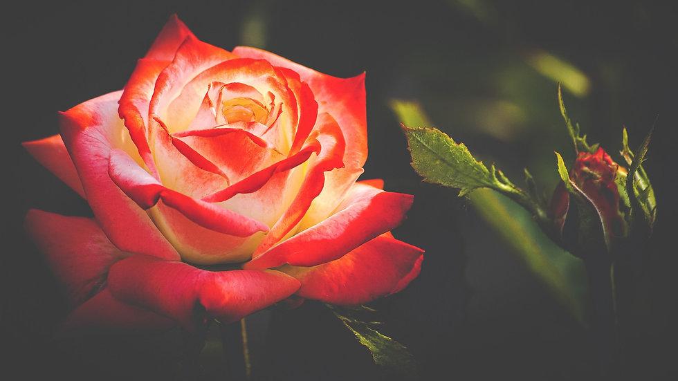 rose-4763146_1920.jpg