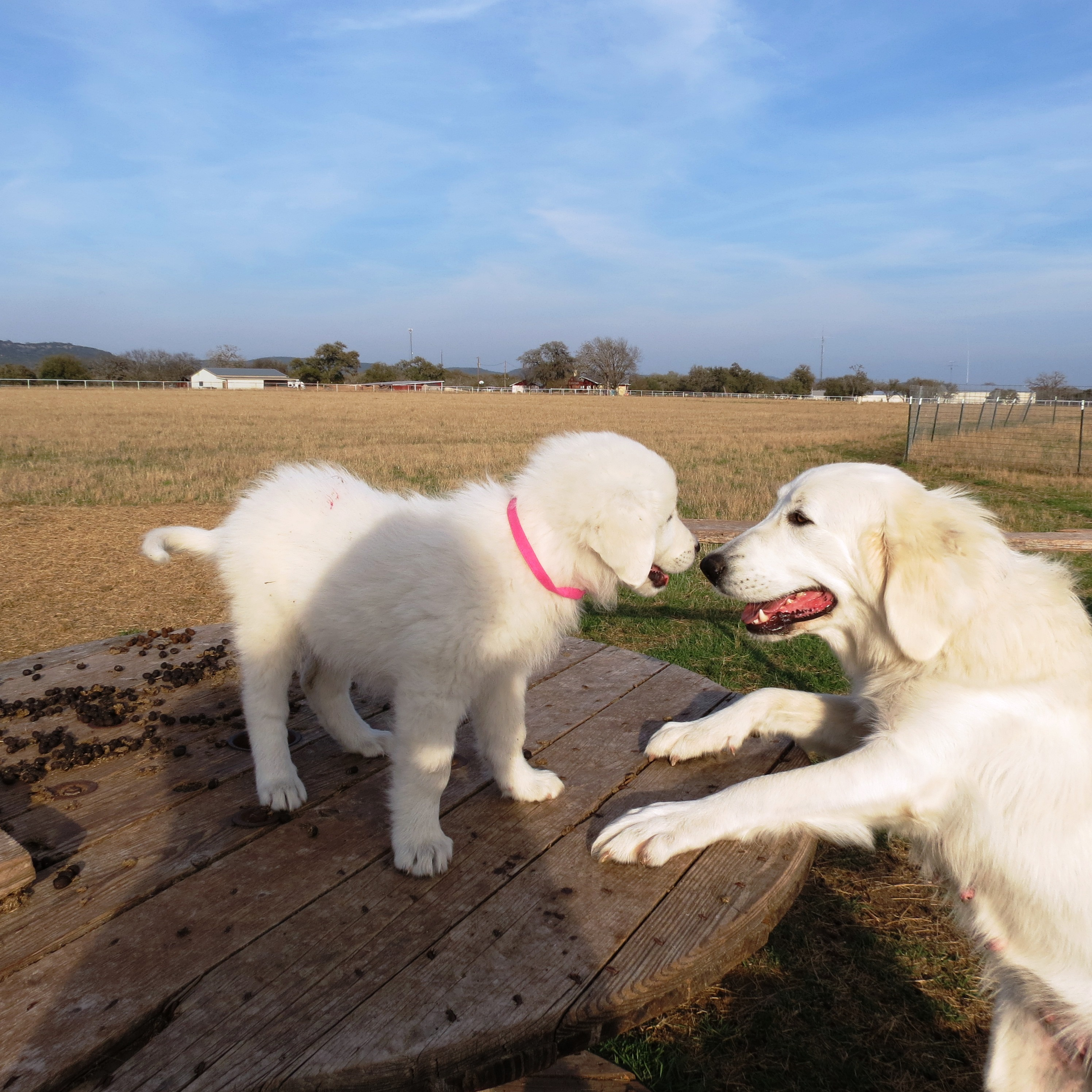 Cute puppies 009