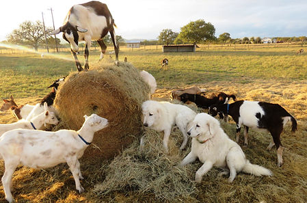 Goats playing in the hay 019.JPG