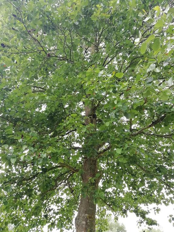 Alder Tree.jpg