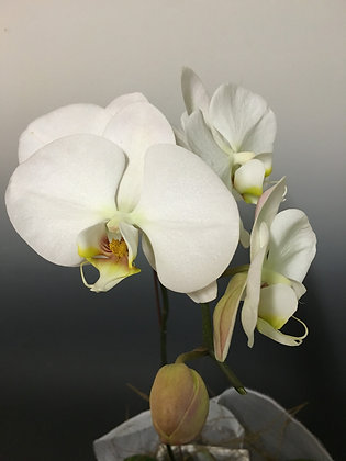 Phalaenopsis - The Orchid of perfection