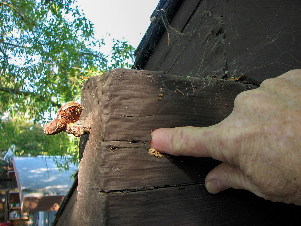 The fruiting body of a wood-rotting fungus that's eating away at a roof beam causing the loss of structural integrity.