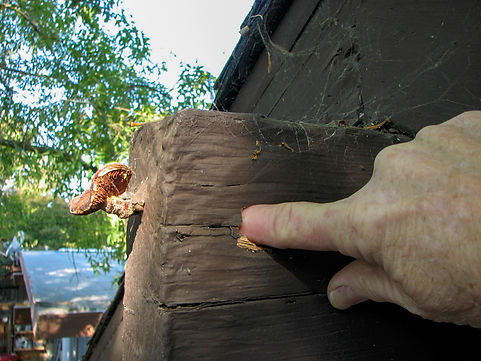 The fruiting body of a dry rot fungus on a roof beam with deep decay.