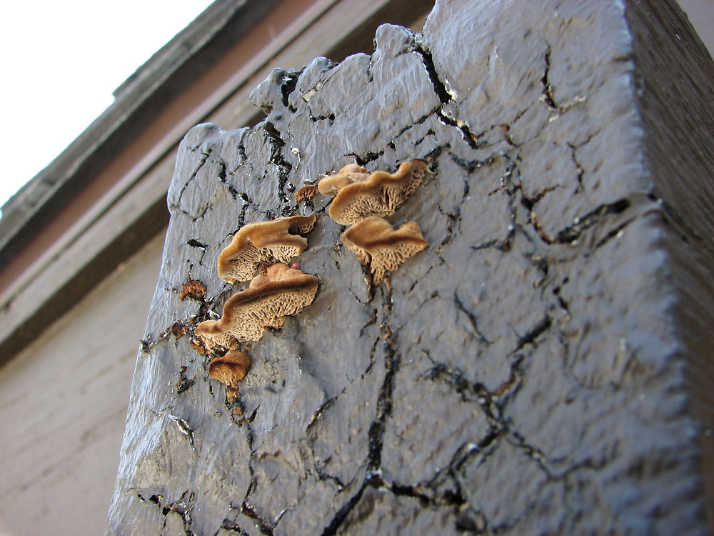 fruiting bodies of dry rot on an exterior beam